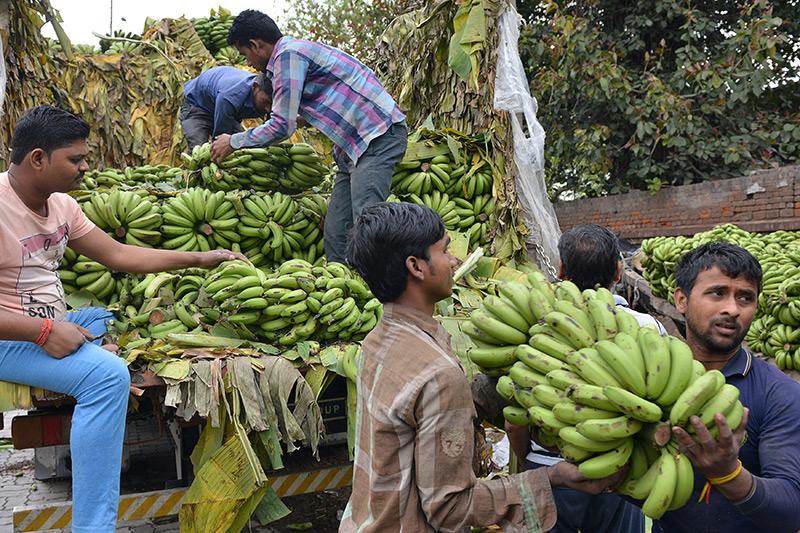 Bedrohte Bananenernten