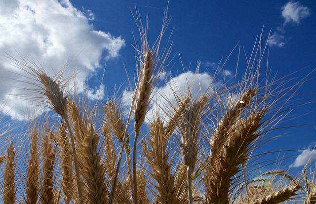 Globale Weizenernte